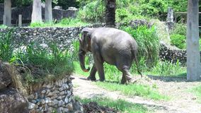 亚洲大象在泰国的动物园里 股票录像