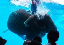 亚洲大象或亚洲大象游泳在大玻璃门橱柜水中 库存照片