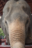 亚洲大象题头  免版税库存照片