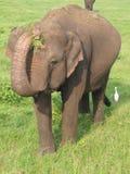 亚洲大象lanka sri 免版税库存图片