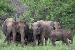 亚洲大象lanka sri 库存照片