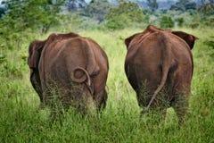 亚洲大象lanka sri 免版税图库摄影