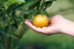亚洲女孩手在一个高处的一个新的甜杉木种植园收获从橙色庭院的桔子 作为背景Healt 免版税库存照片