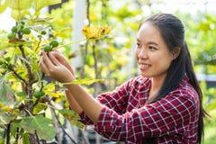 亚洲妇女农夫采摘无花果果子 免版税库存图片