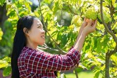 亚洲妇女农夫采摘番荔枝果子 图库摄影