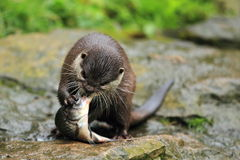 亚洲小抓的水獭 免版税库存照片