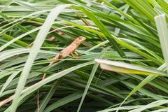 亚洲小的蜥蜴 免版税库存图片