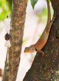 亚洲小的蜥蜴 免版税库存照片