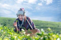 亚洲工作者农夫妇女在茶园采摘传统的茶叶日出早晨 免版税库存照片