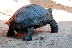 亚洲巨型草龟 库存图片