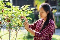 亚洲年轻女人农夫采摘桑树果子 免版税图库摄影