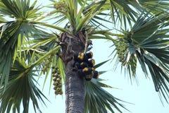 亚洲扇叶树头榈树 库存图片