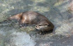 亚洲抓的水獭短小 库存照片