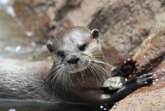 亚洲抓的水獭短小 免版税库存图片