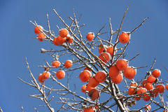 亚洲柿树结构树冬天 库存照片