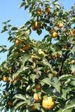 亚洲柿树结构树 库存照片