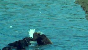 亚洲水牛小组,亚洲水牛在印度,趟过和变冷静在河或池塘的水牛人群 股票视频