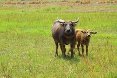 亚洲水牛沼泽泰国 库存图片