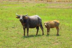 亚洲水牛沼泽泰国 库存照片