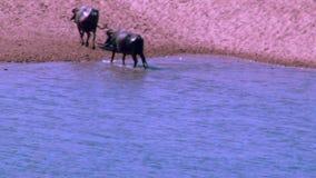 亚洲水牛,亚洲水牛在印度,趟过和变冷静在河或池塘的水牛 股票视频