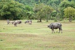 亚洲水牛 免版税图库摄影