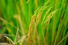 亚洲水稻 库存照片