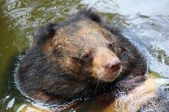 亚洲熊黑色游泳水 免版税图库摄影