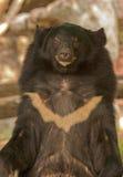亚洲熊黑色 库存图片