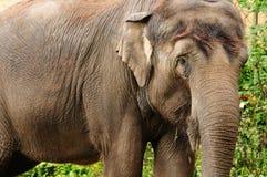 亚洲特写镜头大象 免版税库存照片