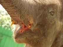 亚洲特写镜头大象 免版税图库摄影