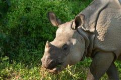 亚洲犀牛 免版税库存图片