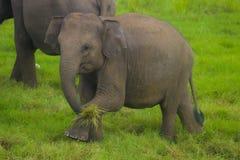 亚洲狂放的Eliphant -斯里兰卡minneriya国家公园 免版税图库摄影