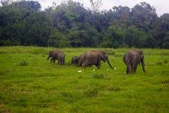 亚洲狂放的Eliphant -斯里兰卡minneriya国家公园 免版税库存照片