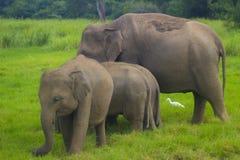亚洲狂放的Eliphant -斯里兰卡minneriya国家公园 库存图片