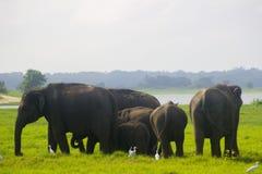 亚洲狂放的Eliphant -斯里兰卡minneriya国家公园 免版税库存图片