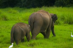 亚洲狂放的Eliphant -斯里兰卡minneriya国家公园 库存照片