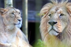 亚洲狮子豹属利奥persica夫妇 免版税库存照片