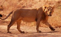 亚洲狮子 免版税图库摄影