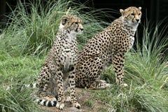 亚洲猎豹彻斯特动物园 库存图片