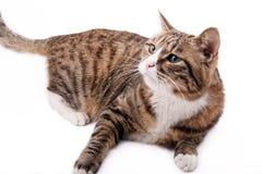 亚洲猫豹子 免版税图库摄影