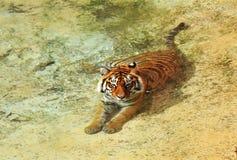 亚洲男性池休息的老虎 免版税库存照片