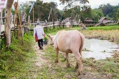 亚洲白变种水牛 库存照片