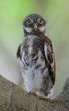 亚洲禁止的猫头鹰之子 图库摄影
