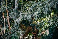 亚洲竹子离开一个热带森林 库存照片