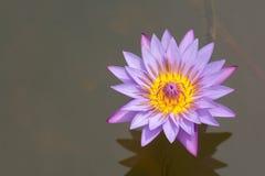 亚洲紫色荷花背景 免版税库存图片