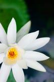 亚洲绿色莲花植物 免版税库存照片