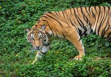 亚洲老虎观看在自然的牺牲者 免版税库存照片