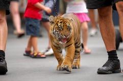 亚洲老虎 免版税图库摄影