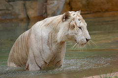 亚洲老虎 免版税库存照片
