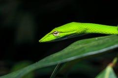 亚洲藤蛇在夜间树枝的Ahaetulla Prasina 库存图片